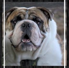 Boss N Co Aussie Bulldogs (NSW) - Stud: Ace-Tanks 'Love Child'93% 1st GenerationHip score 24, Elbows 0/0Sire: Tank BBDDam: Ace KahluaPlease contact: NicolePhone: 0435 720 876