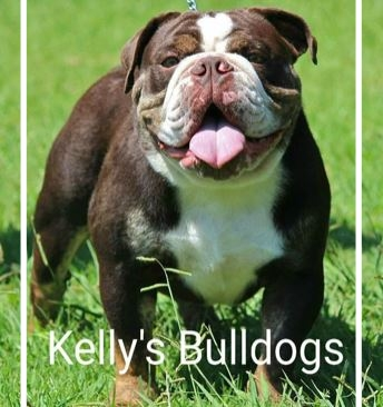Kelly's Bulldogs (NSW) - Stud: Kelly's CheckmateTriple carrierHip scores availableFresh, chilled and frozen availablePlease contact: KellyeMail: beck@kellysbulldogs.com