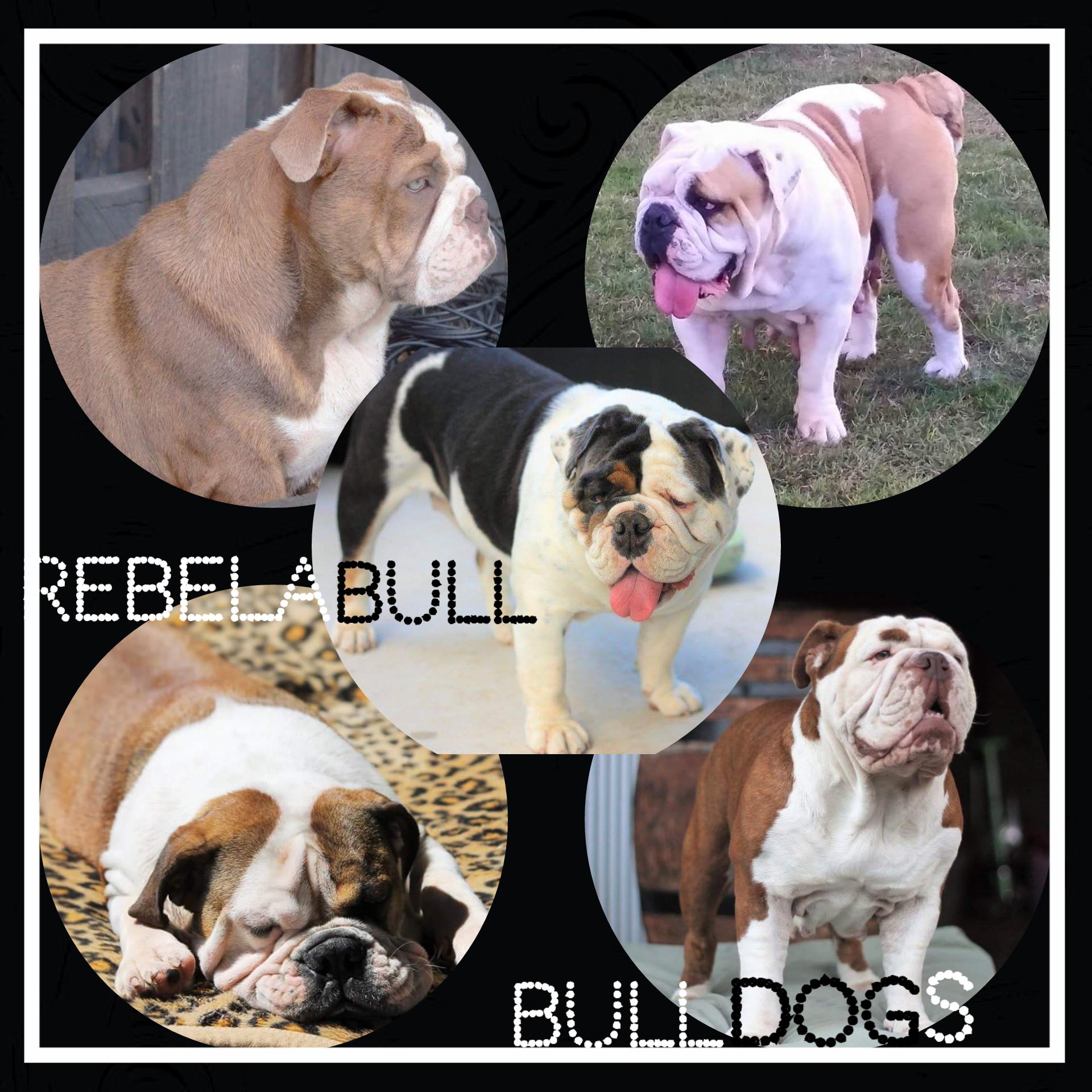 Rebel A Bulldogs - Location: BrisbanePlease contact: JodiePhone: 0431 892 285eMail: forteclan@dodo.com.aurebelabullaussiebulldogs-com.webs.com