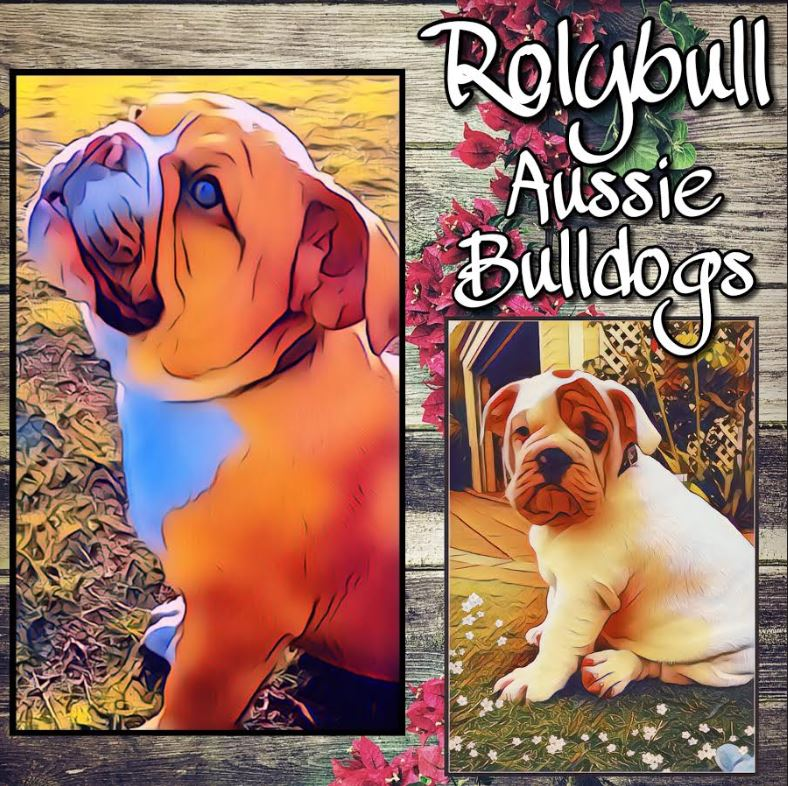 Rolybull Aussie Bulldogs - Location: PerthPlease contact: Carolyn & Markemail: rolybull@hotmail.com