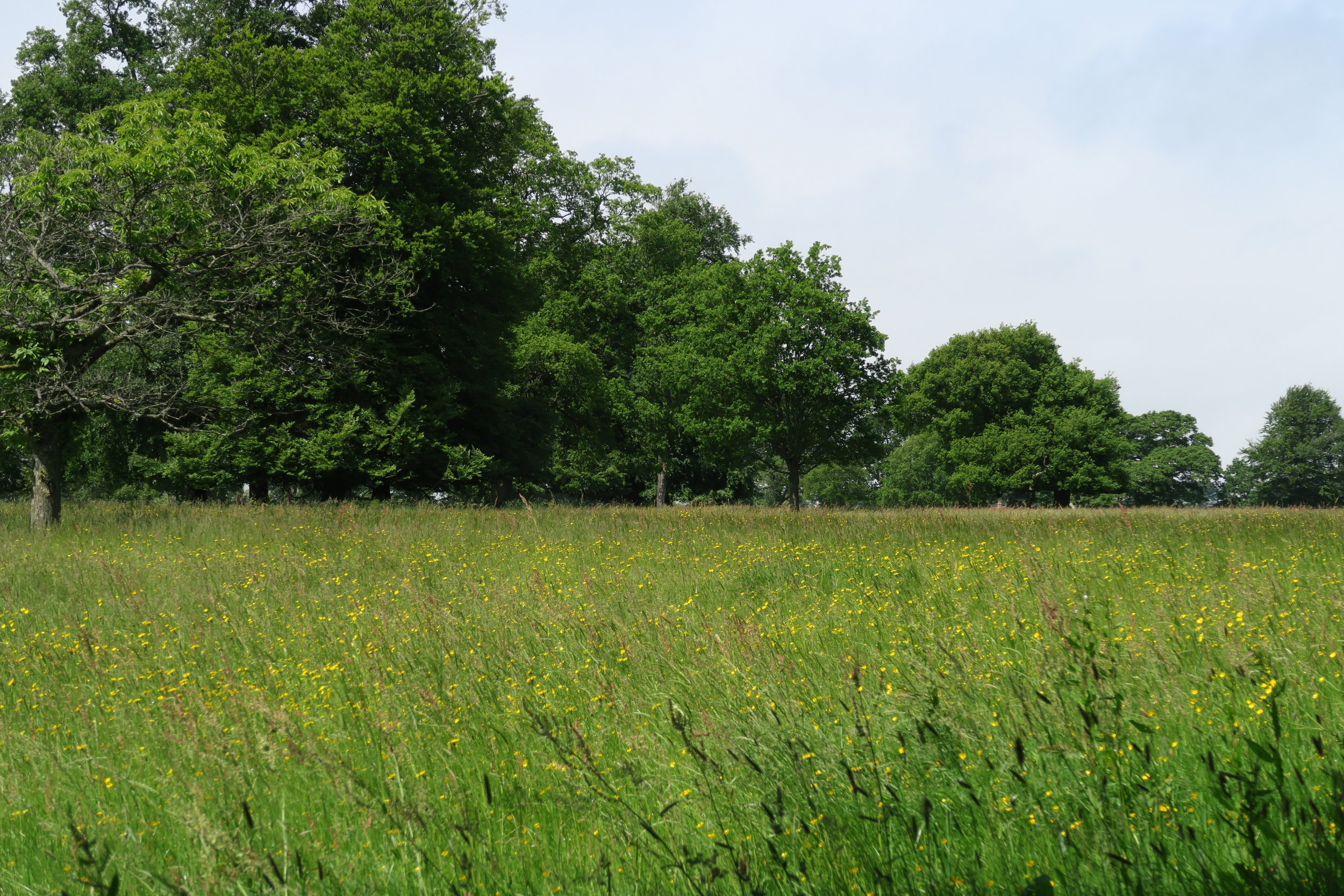 Wildflower meadows and trees: medicine for the planet. Stourhead, UK, in summer.