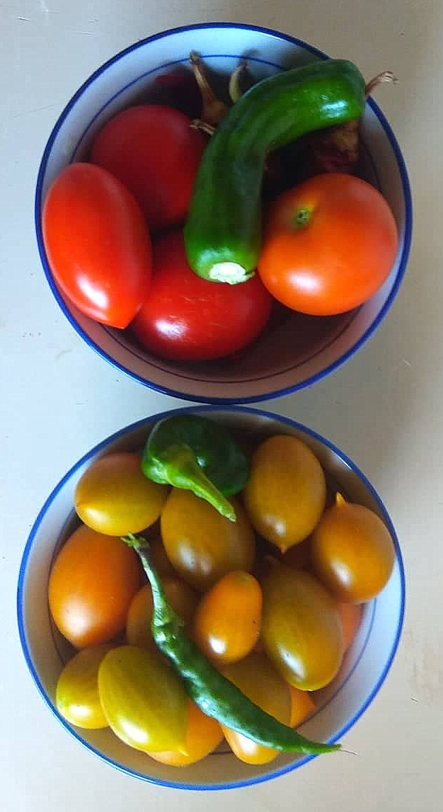 Four different kinds of tomato and chillies. From pouring washing-up water into pot-plants.