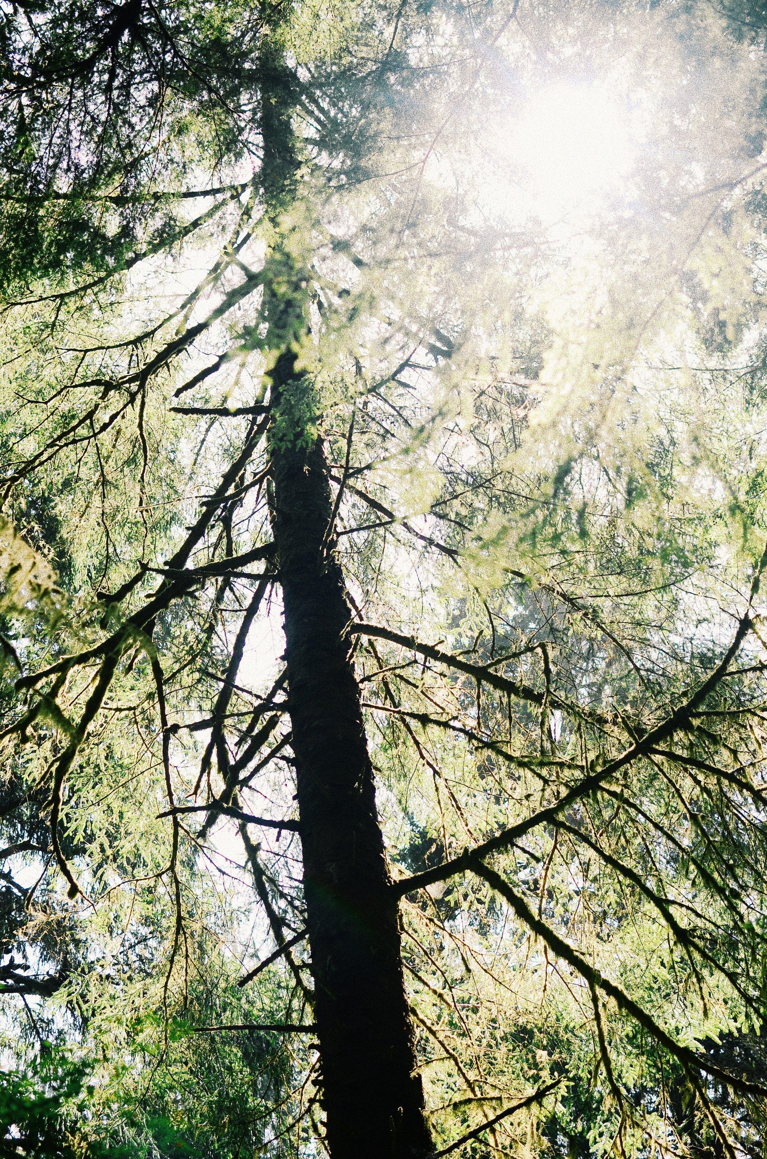OswaldTrees.jpg