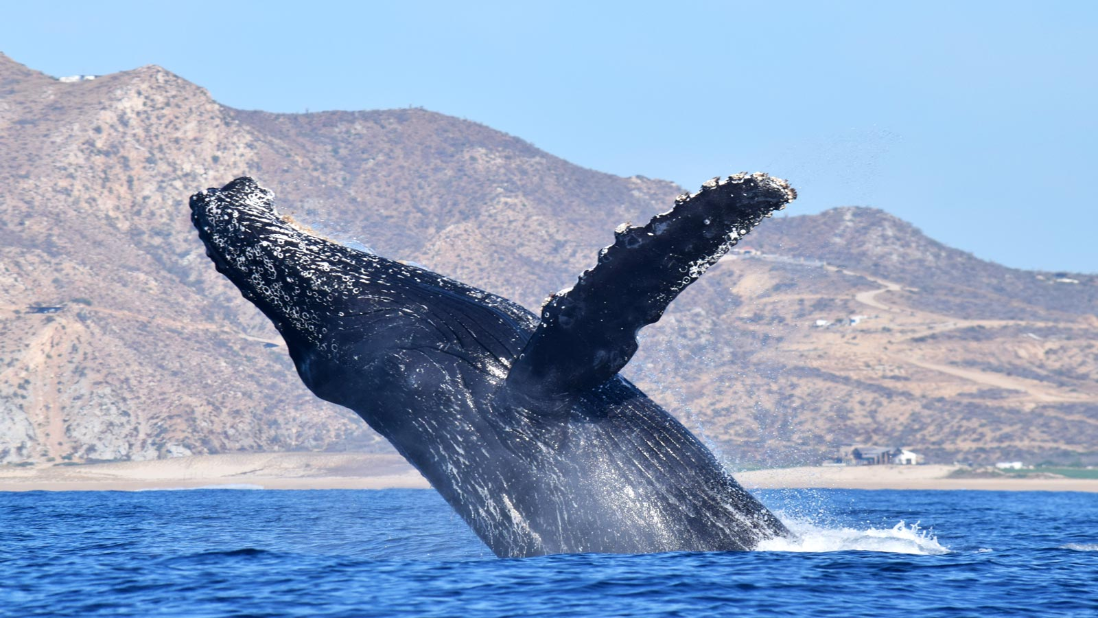 Photo courtesy of  Whale Watch Cabo