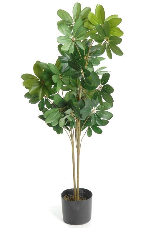 4' New Baby Schefflera, Amanda's House Of Elegance  ($66.95)