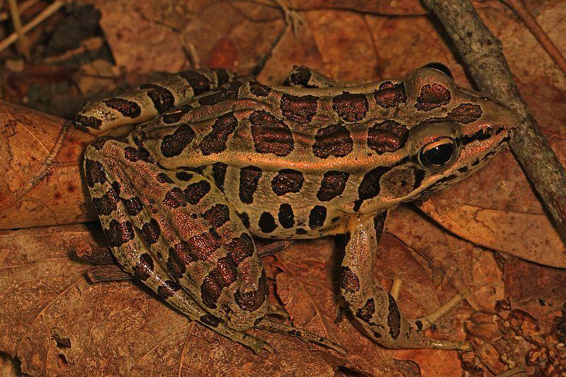 Pickerel_Frog_-_Lithobates_palustris,_Friendsville,_Maryland.jpg