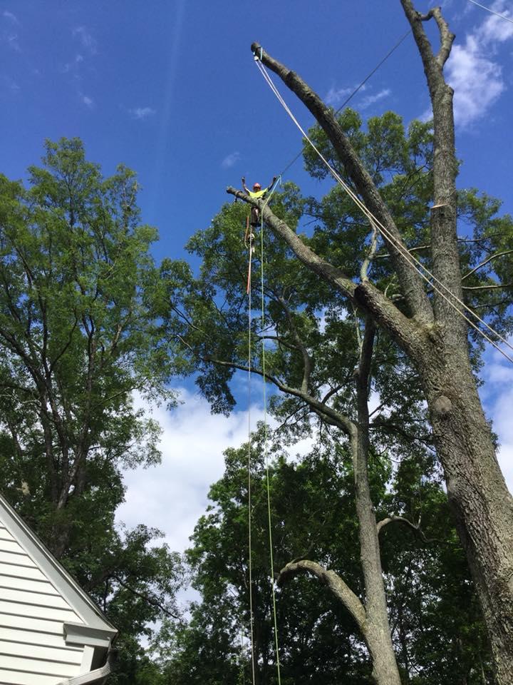 Oak Removal In Backyard