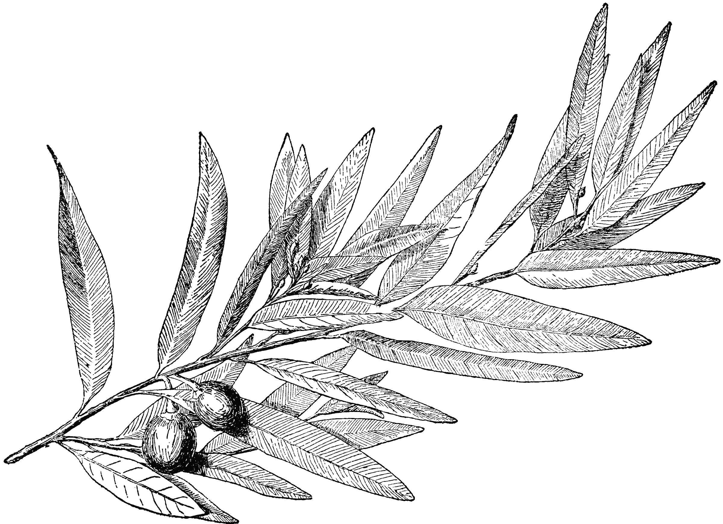 Laurel leaves, a symbol of honor in ancient Greece.