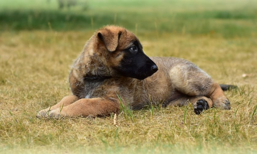 Brown puppy on burned grass