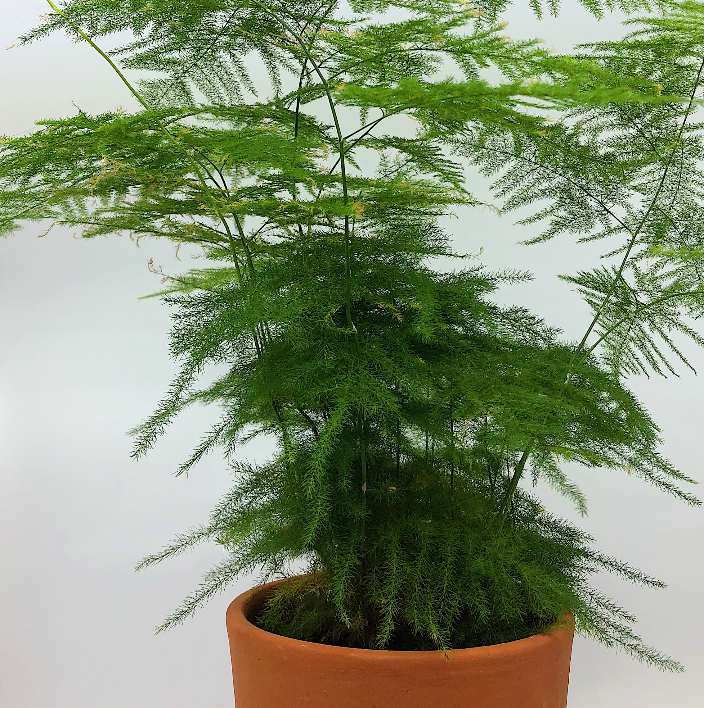 #1 Asparagus Fern - {Asparagus Setaceus}The fluffy asparagus fern is a surprising member of the lily family, and the fine feathery leaves are perfectly suited to a damp environment. Its peculiar name comes from the appearance of the new emerging shoots resembling asparagus - and despite its soft appearance, there are tiny thorns hidden in the foliage.