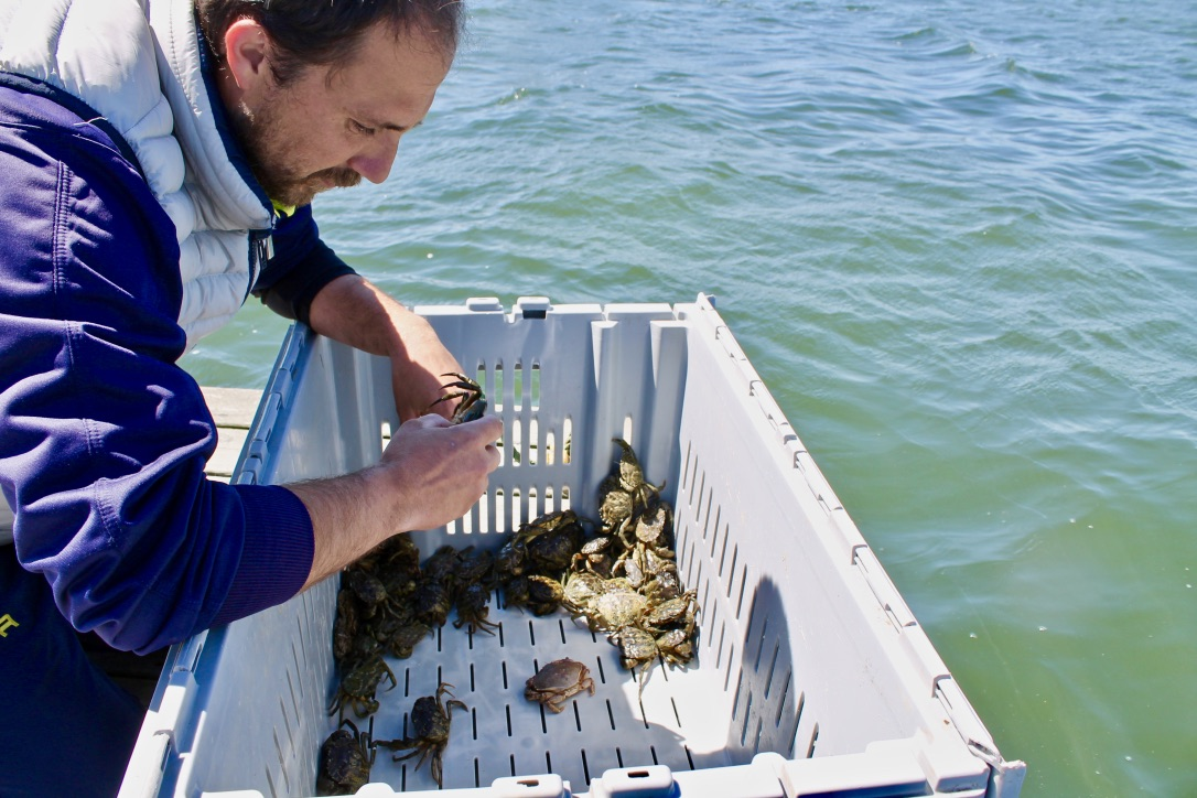 Paolo sorts crabs in the Chatham Harbor. Photographed by Mary Parks.