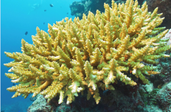 Branching Acropora. Photo © Vatuvara Private Islands