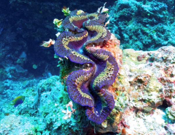Vibrant Giant Clam. Photo ©Vatuvara Private Islands.