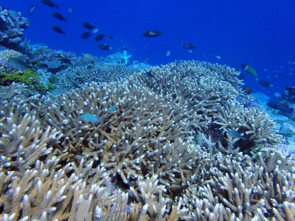 Healthy thickets of  Acropora corals on reefs at Kanacea Island. Photo ©Sangeeta Mangubhai/WCS.