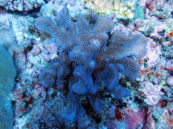 Pocillopora corals. Photo by Sangeeta Mangubhai/WCS.