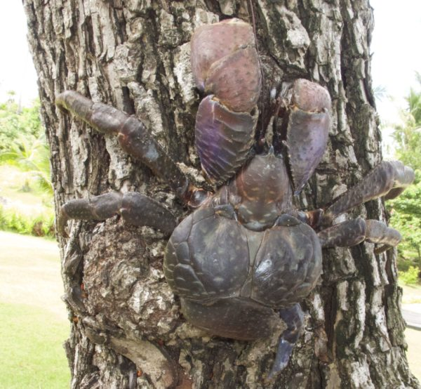 Vulnerable Coconut Crab ( Birgus latro ). Photo: ©Vatuvara Private Islands.