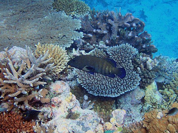 A grouper swimming over a healthy reef. Photo © Sangeeta Mangubhai/WCS.