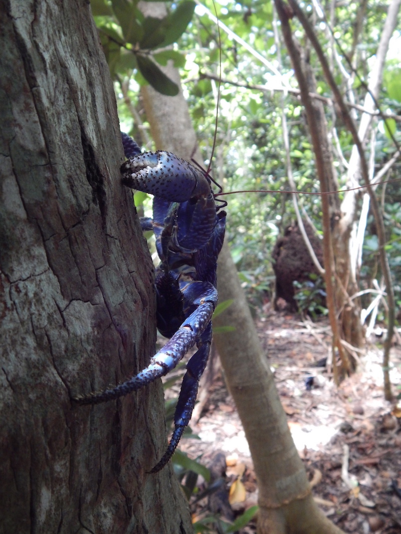 The unique and threantened coconut crab climbs a tree in search of sustenance. © Steve Cranwell/Birdlife International Pacific.