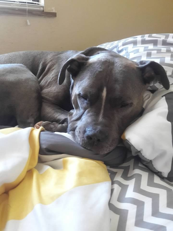 8 Facts About Pitbulls- Not Without My Coffee 8
