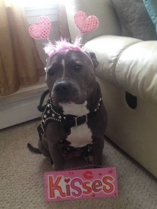 8 Facts About Pitbulls- Not Without My Coffee 5