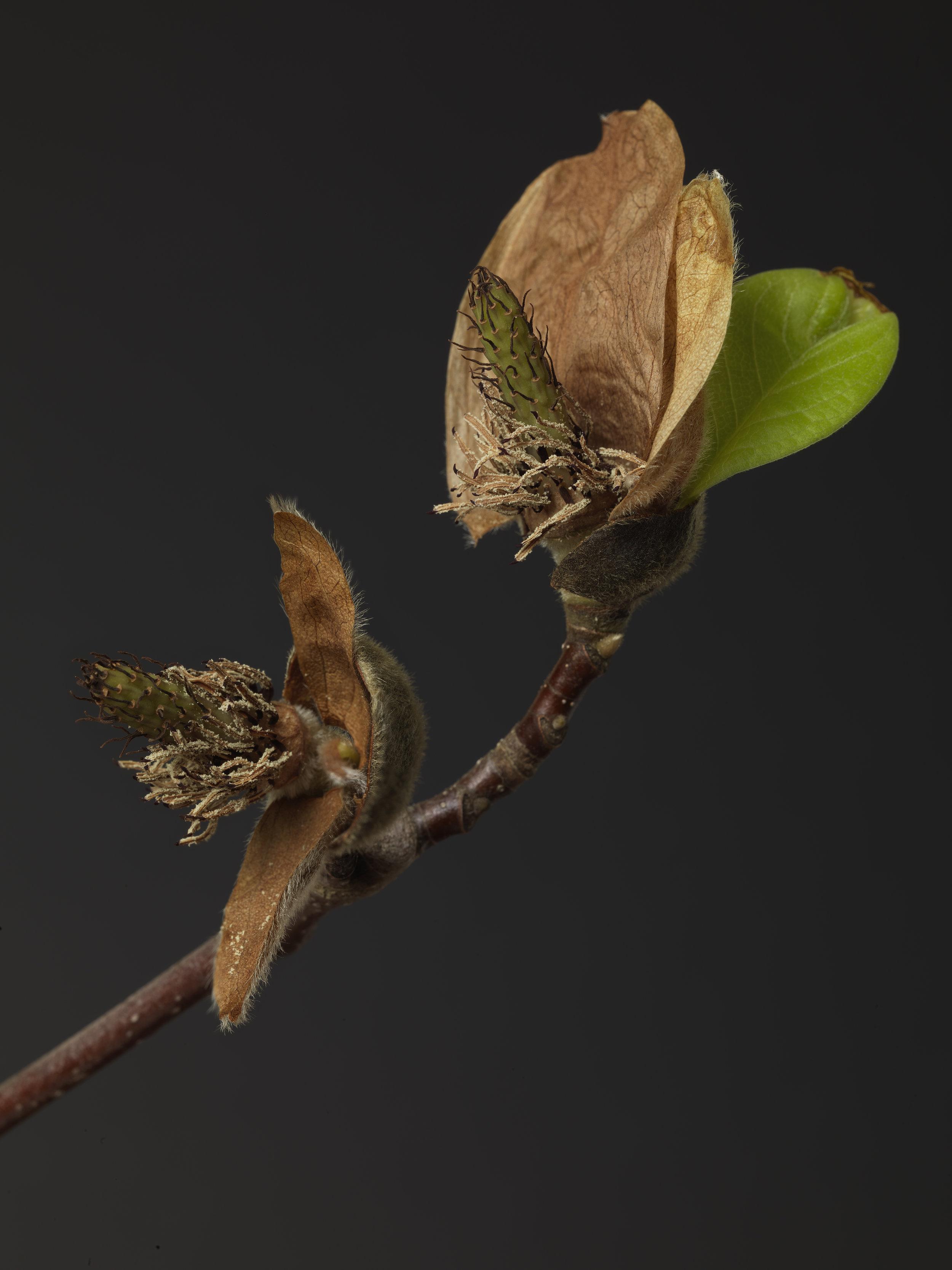 Magnolia #36