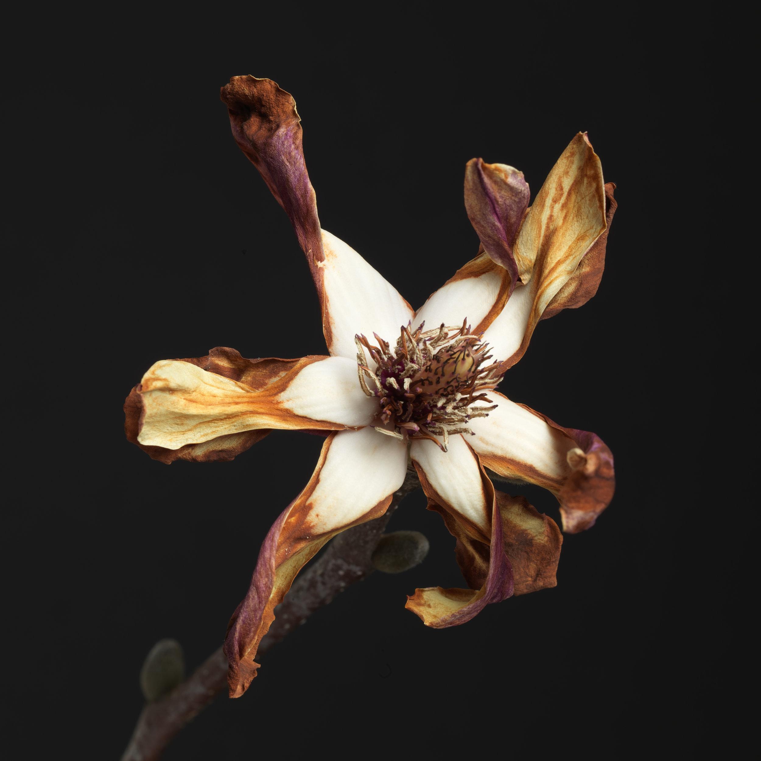 Magnolia #27