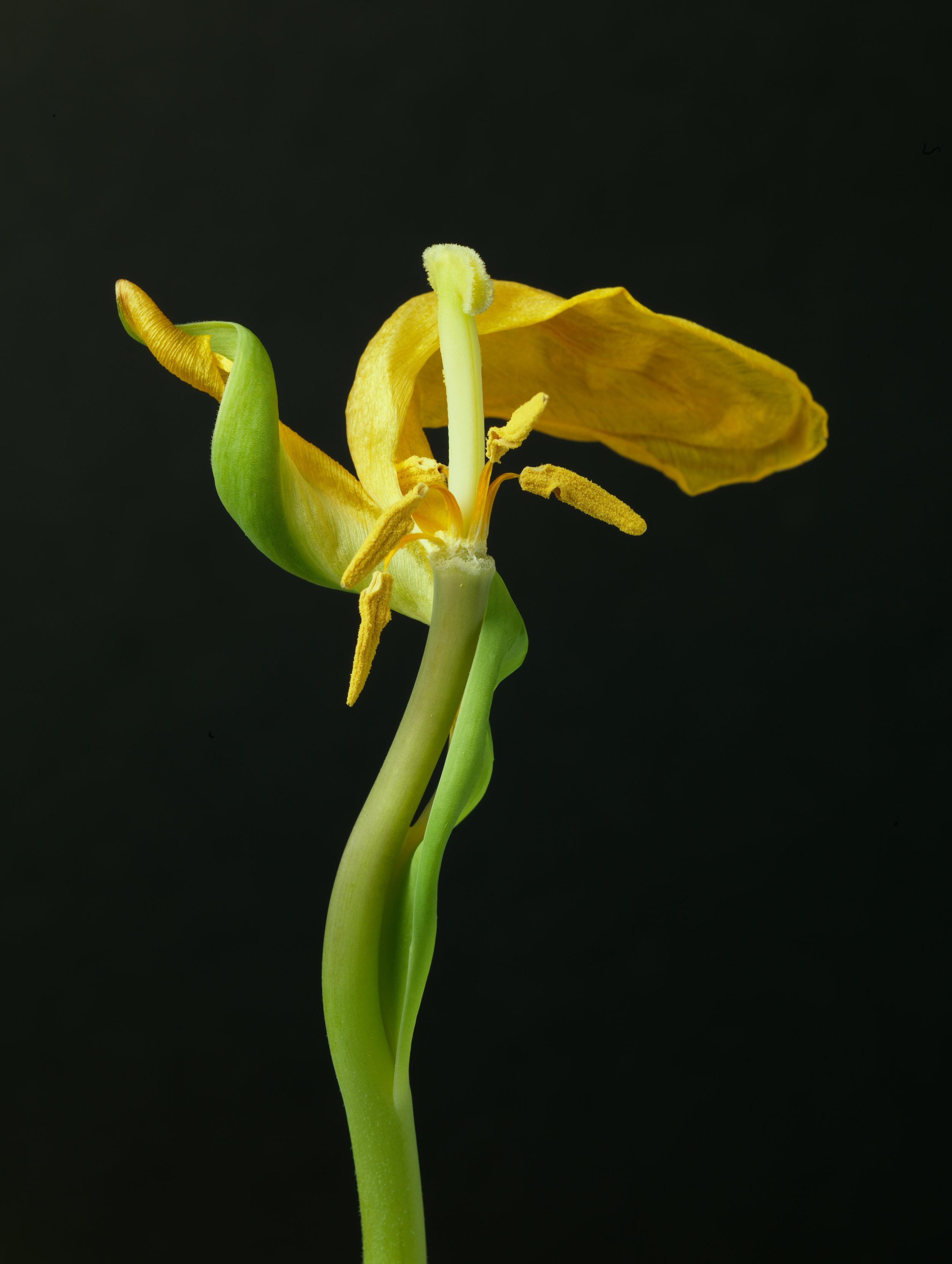 Yellow Tulip #19