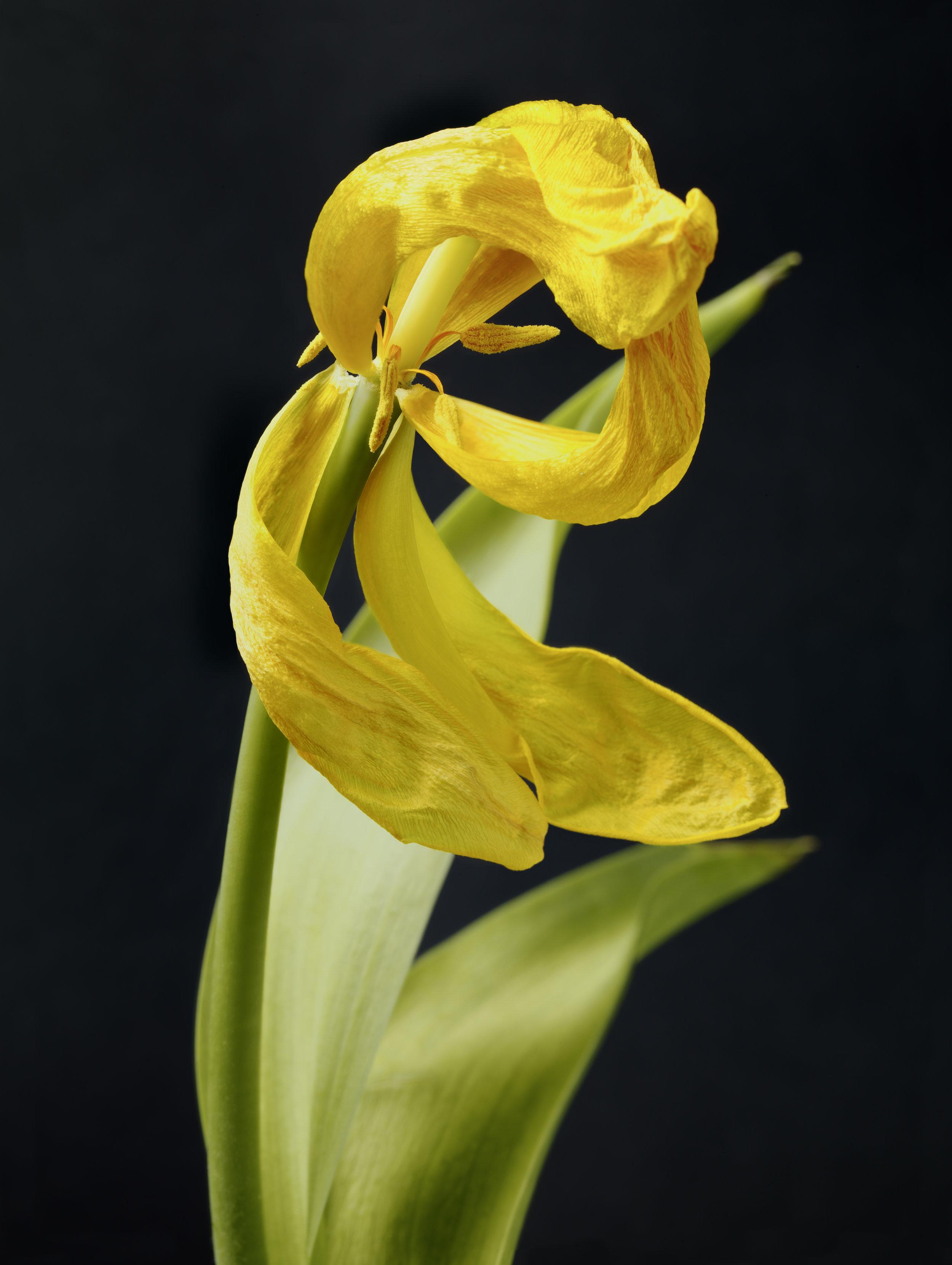 Yellow Tulip #27