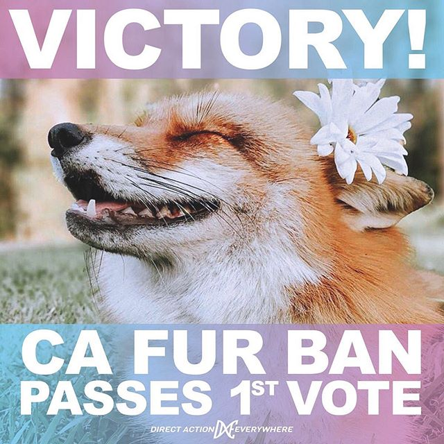 "California Becomes First State to Ban the Sale and Production of Animal Fur Products!!!! YAY!!!! 👏🏼👏🏼👏🏼 . The landmark law will go into effect on Jan. 1, 2023!!! . California Governor Gavin Newsom signed Assembly Bill 44, a bill banning the production and sale of fur statewide, into law on October 12. By enacting this bill, California has become the first state to fully outlaw fur sales and production statewide. . ""California's groundbreaking new law sounds the death knell for the sickeningly cruel fur industry and marks a major victory for animals, people, and the environment,"" Fleur Dawes, Communications Director for In Defense of Animals, said in a statement. ""The enactment of AB 44 reflects the evolving attitudes of compassionate Californians who reject 'fashion' made from tortured animals, and paves the way for other states — and ultimately, the world — to go fur-free."" . As Dawes statement reflects, In Defense of Animals and other animal welfare organizations are hopeful that this new ban will be the beginning of the end for the fur industry in the United States, and, eventually, worldwide. . #fuckfur #banfur #furismurder #furiscruel #veganfortheanimals #animalrights"