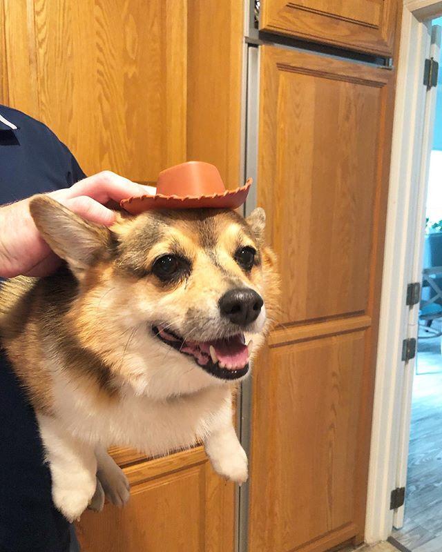 Happy #nationaldogday to the best Corgi who lets Jakob dress her like Woody from Toy Story. #lolafleischer #corgisofinstagram #corgi #furbaby