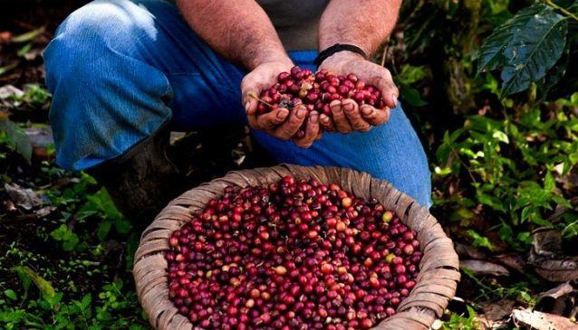 coffee_plantation_costaRica.jpg