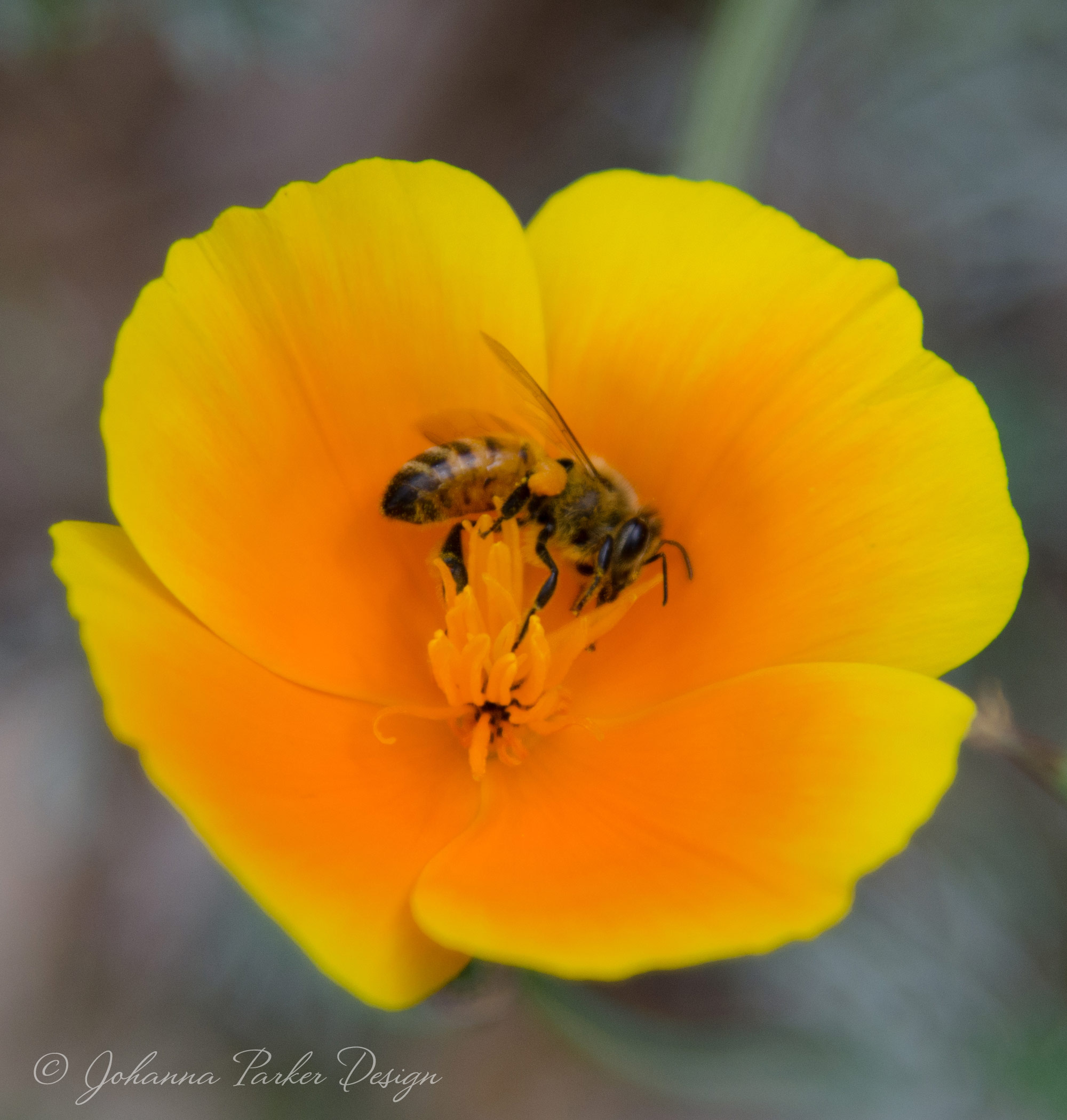 This year, our garden is full of orange poppies and bees! They go hand in hand, and I captured this photo to express the mystery and whimsy of nature that offers more artistic inspiration for me.
