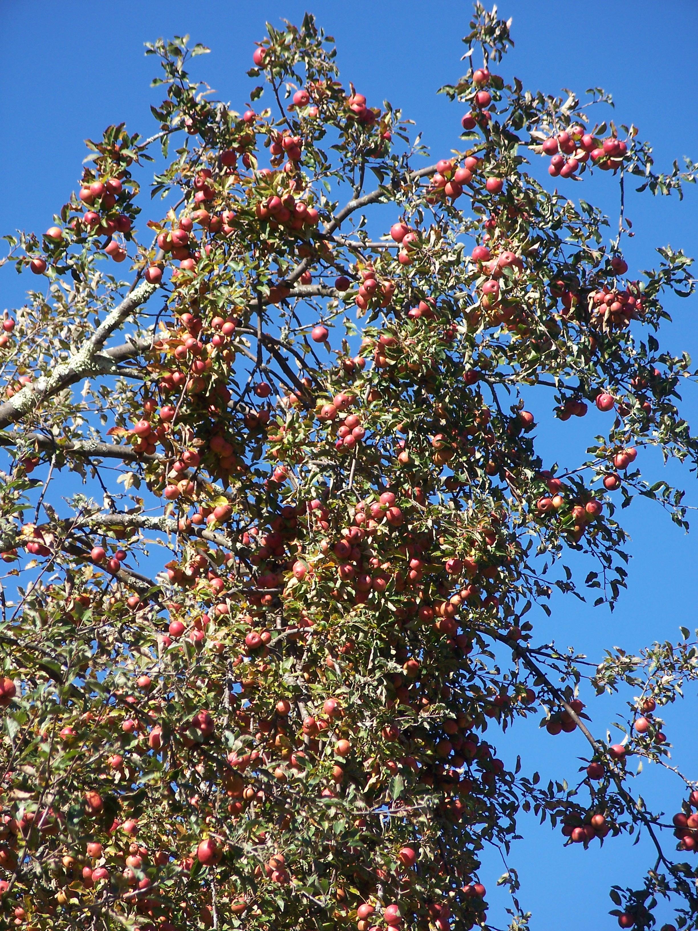 S2 Apple tree loaded along ALT near Glady.jpg