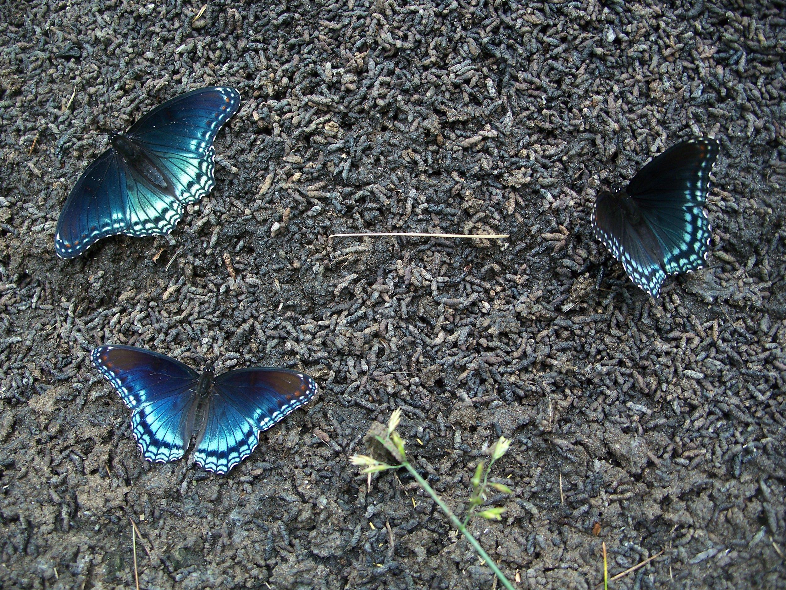 Bat guano & butterflies - By Doug Wood