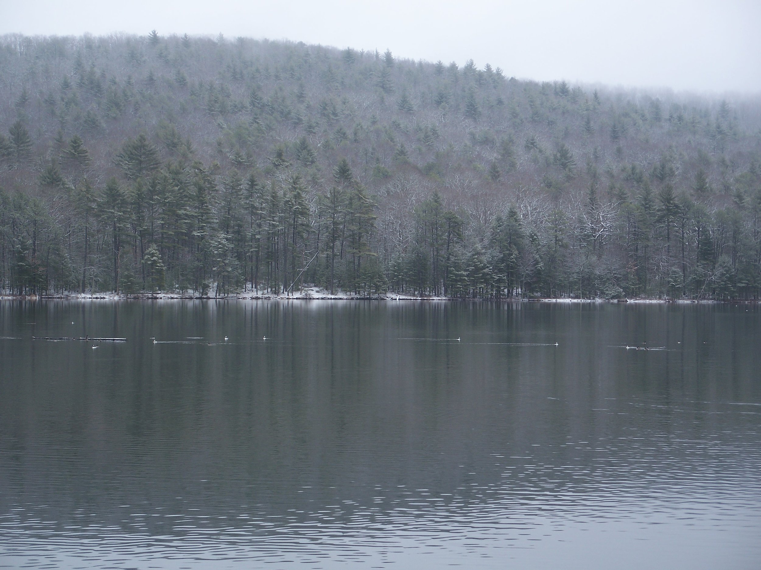 S3 Lake Sherwood Buffleheads - By Doug Wood