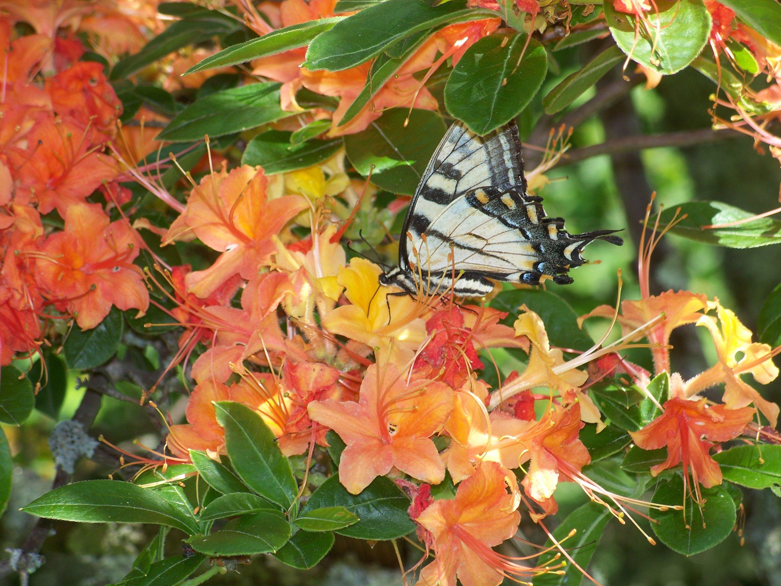 S4 Flame azalea & tiger swallowtail on Peters Mtn.jpg