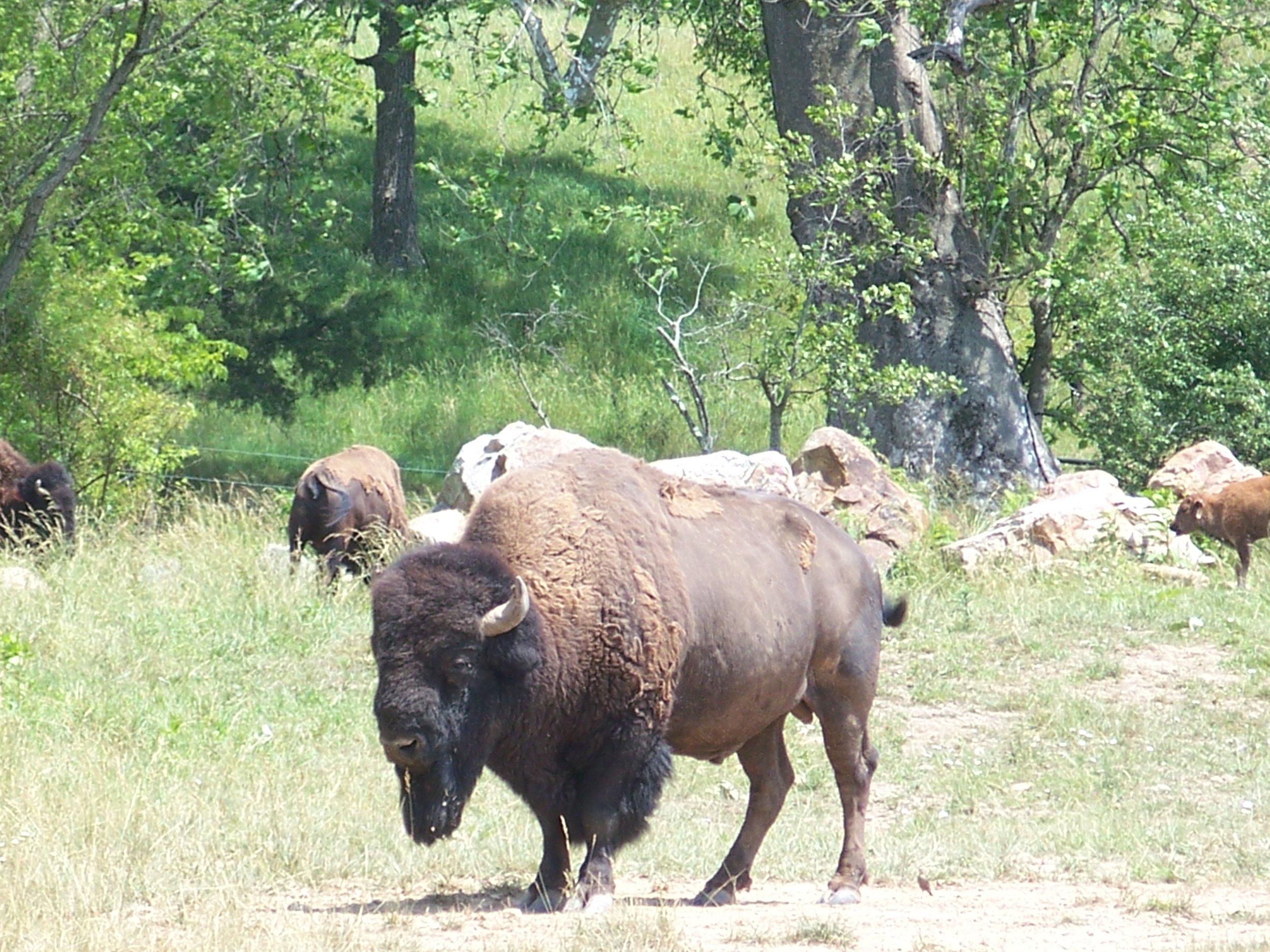 S4 Hollow Hill Farm Buffaloes near ALT - By Doug Wood