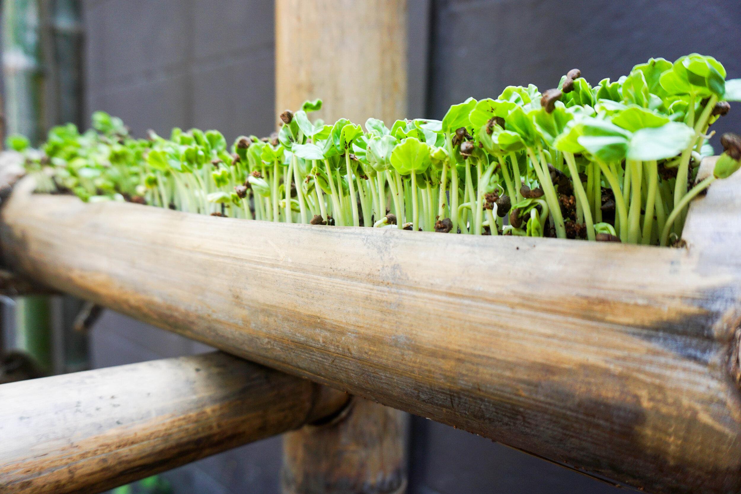 Bo.lan Edible Garden: Micro-greens bamboo planter in ZONE H - The Fresh Air Tunnel