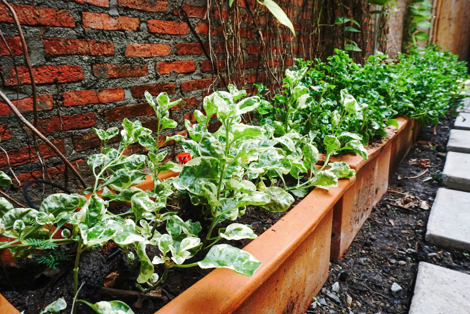 Bo.lan Edible Garden: Four types of watercress in ZONE D - The Semi-sheltered Garden
