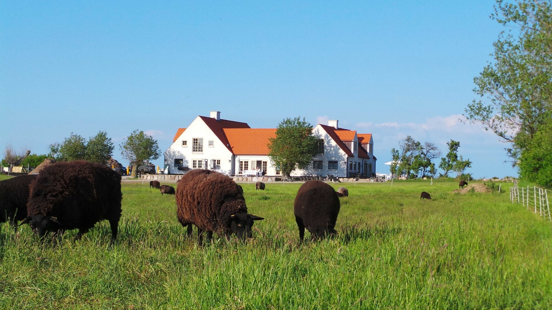 blæsenborg med får.jpg