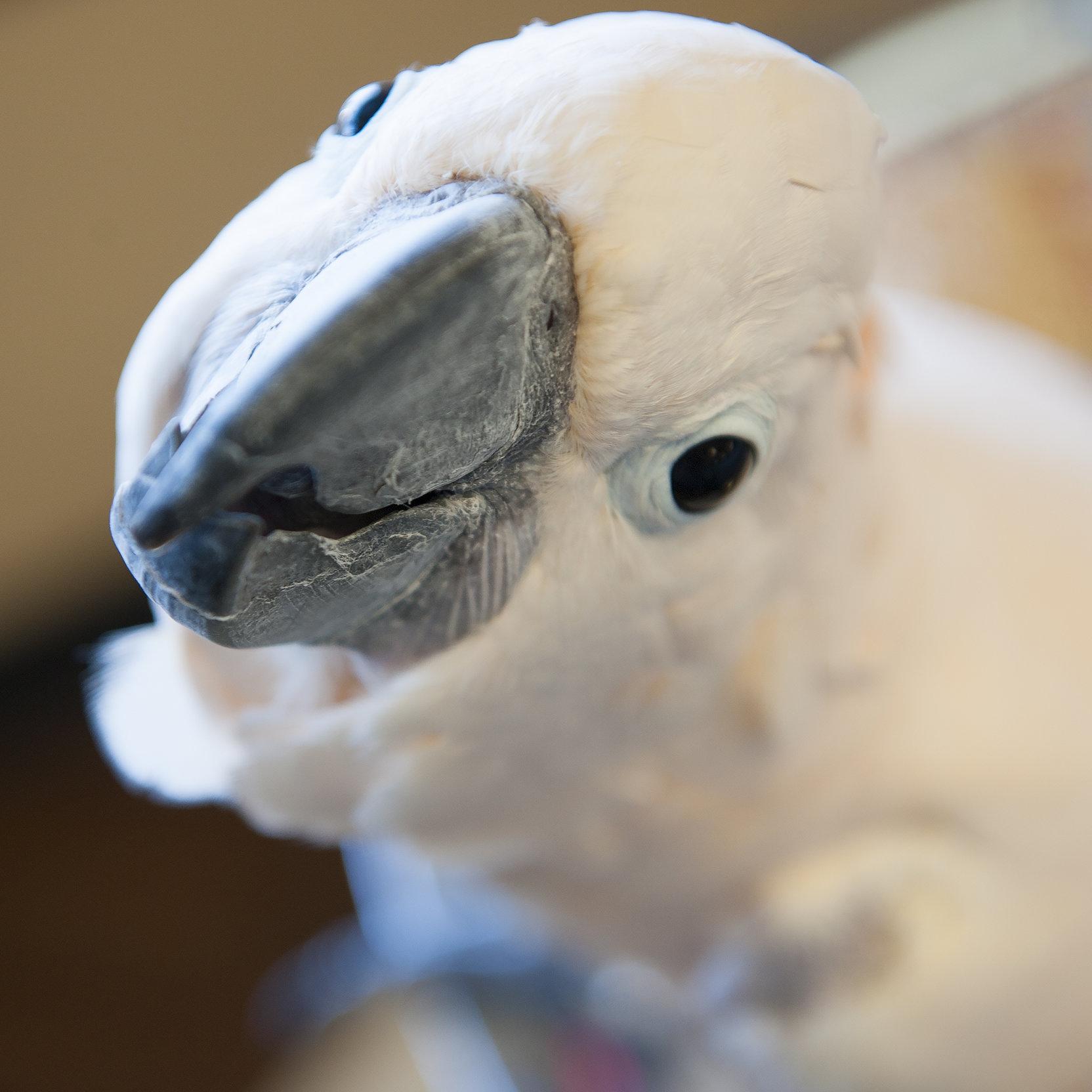 Cuddles Cockatoo Bio