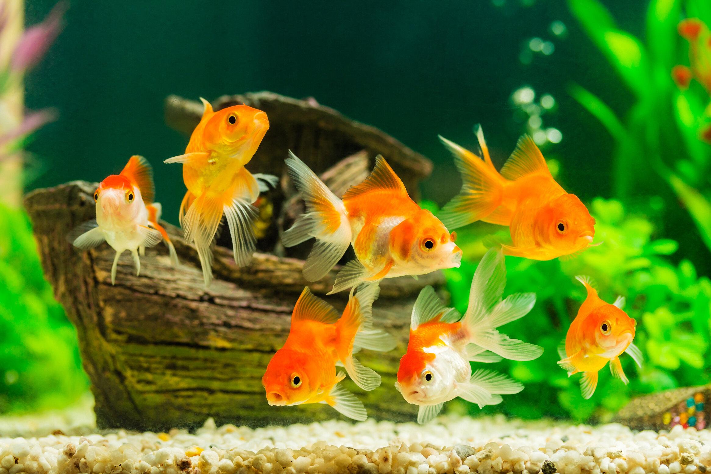 fresh goldfish.jpg