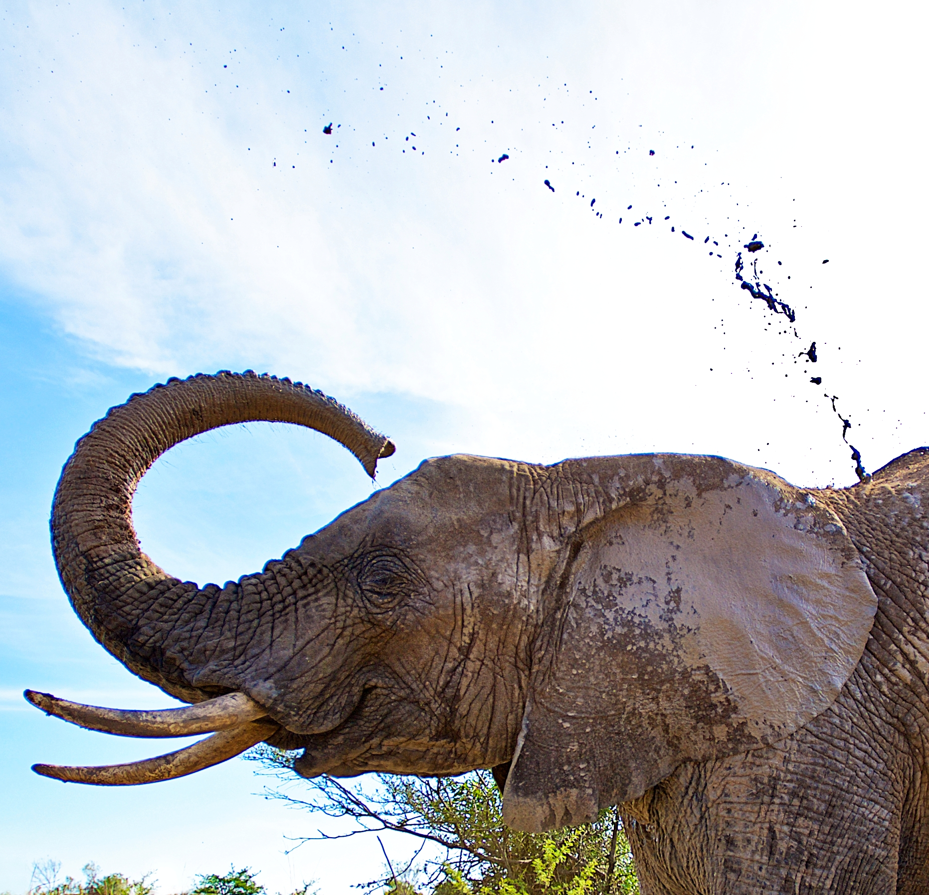 Elephants have the capability of detecting scents up to 4km away from the source.