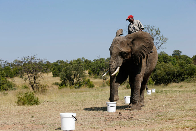 Currently the elephants are able to detect small traces of TNT from 100m away.