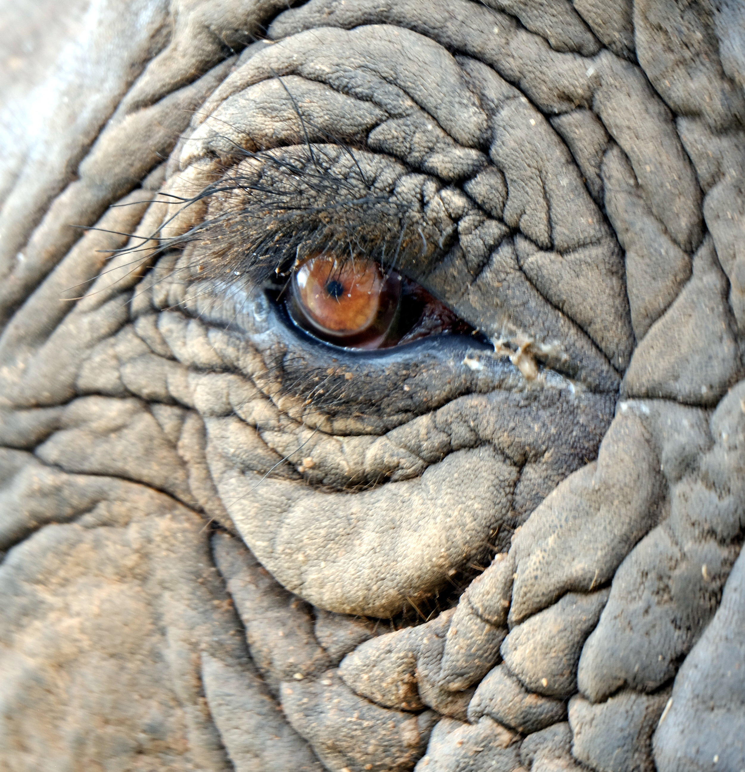 Elephants do not have tear ducts like most other mammels.