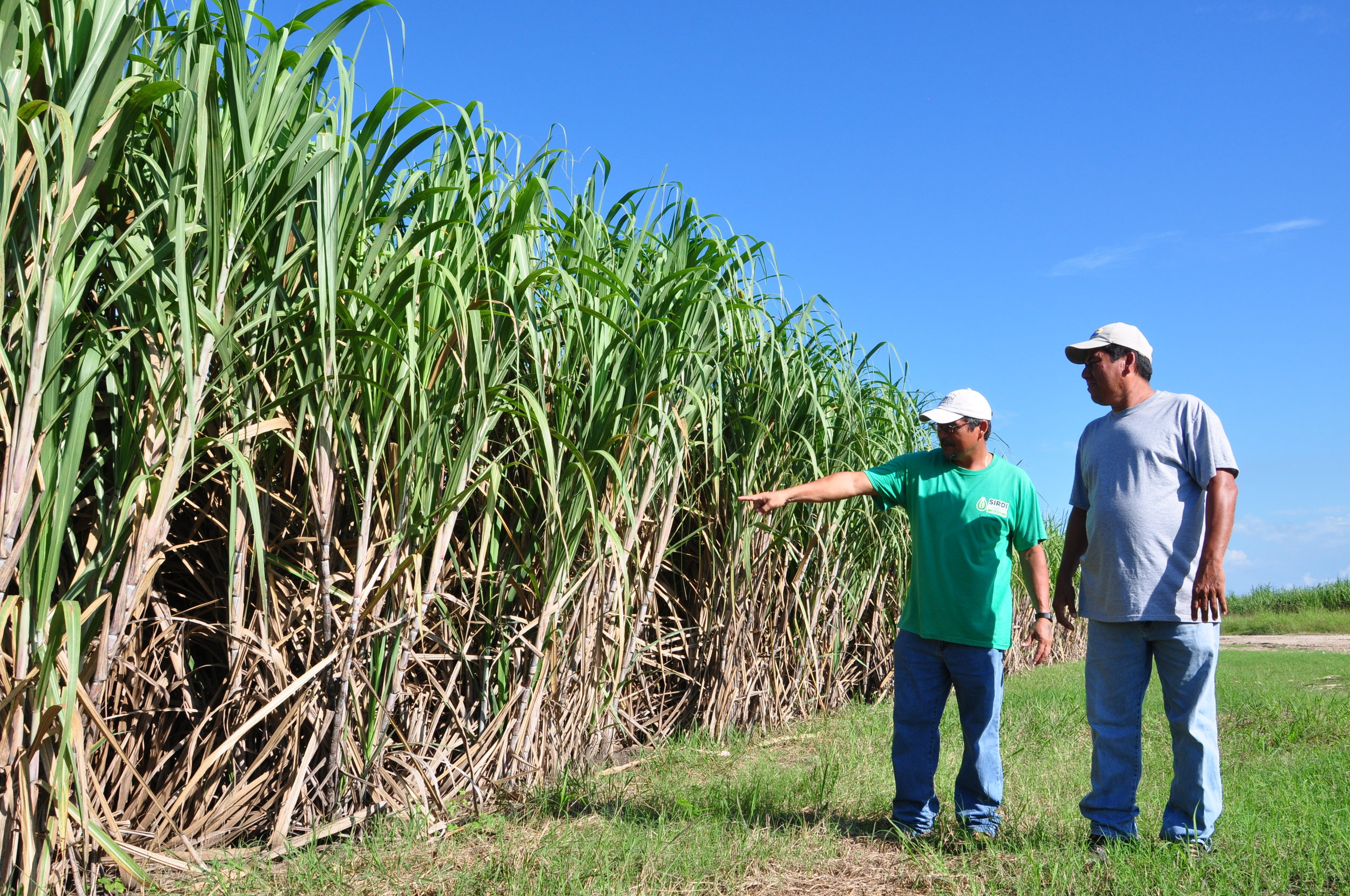 Growers inspecting the cane in Belize