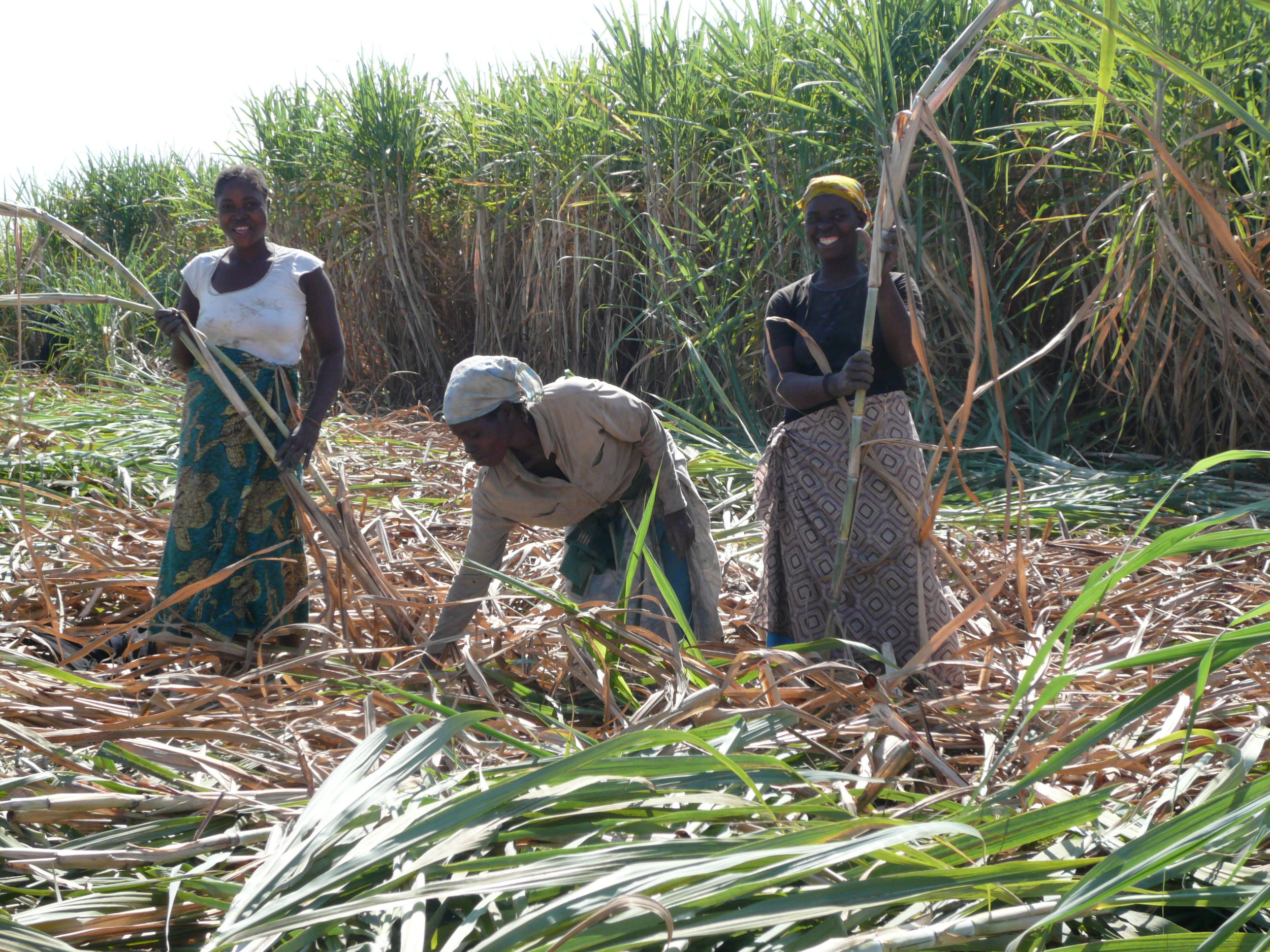Mozambican workers preparing seed cane