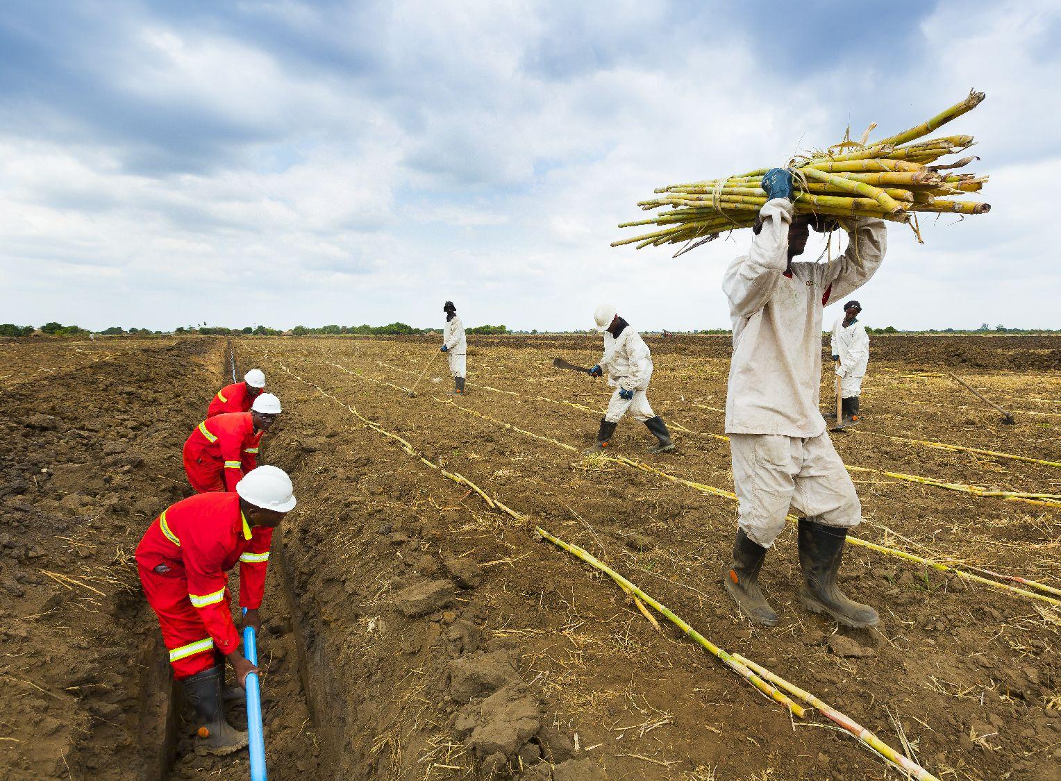 Sugar cane being planted