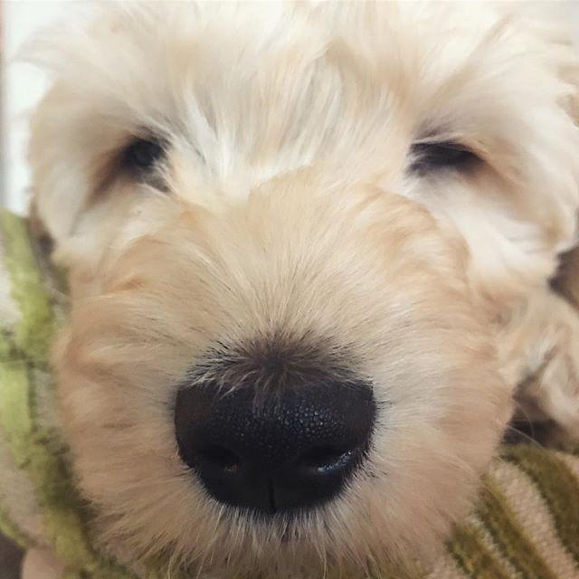 Not ready to wake up just yet 💤🐶💚 . . . #dogsofinstagram #dogs #dogstagram #puppy #puppies #puppiesofinstagram #dogstagram  #pet #petstagram #petsofinstagram #dogsofig #dogoftheweek #puppygram #puppylove #dogsofinsta #dogsofig #dogoftheday #dog #doglover #cockapoo #cockapoopuppy #cockapoosofinstagram