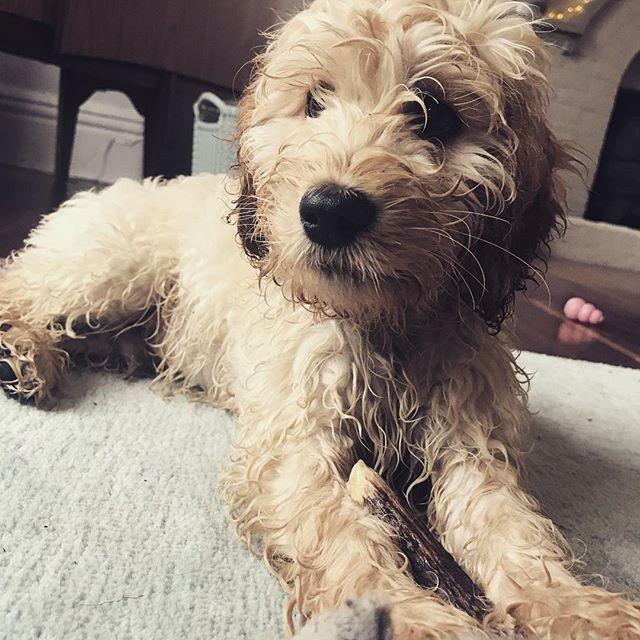 How? It's a sunny day!!!☀️🐾😂 . . . . #cockapoo #cockapoosofinstagram #doodlesofinstagram #dogsofinstagram #dogs #dogstagram #puppy #puppies #puppiesofinstagram #dogstagram  #pet #petstagram #petsofinstagram #dogsofig #dogoftheweek #puppygram #puppylove #dogsofinsta #dogsofig #dogoftheday #dog #doglover